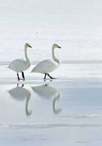 svanir icelandic times