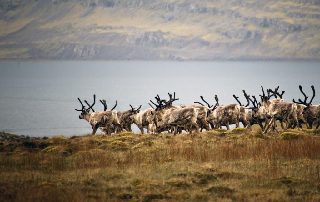 Reindeer iceland copy