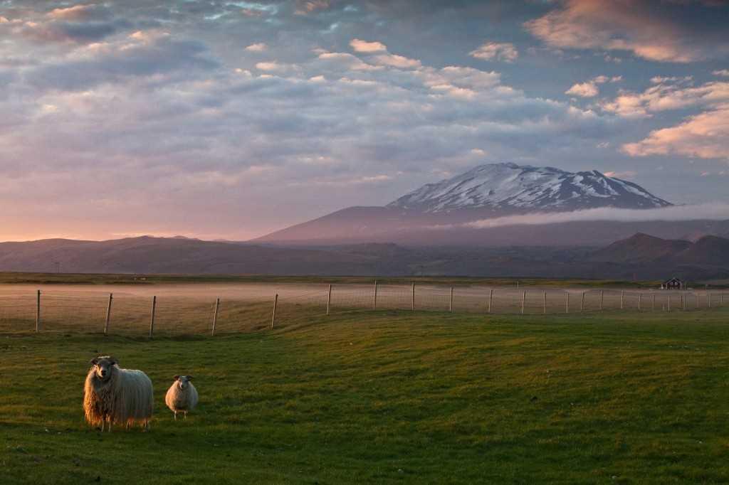 Icelandic sheep at Hekla