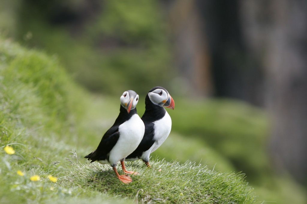 Puffins looking