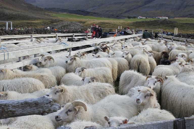 lamb borgarnes iceland icelandic times