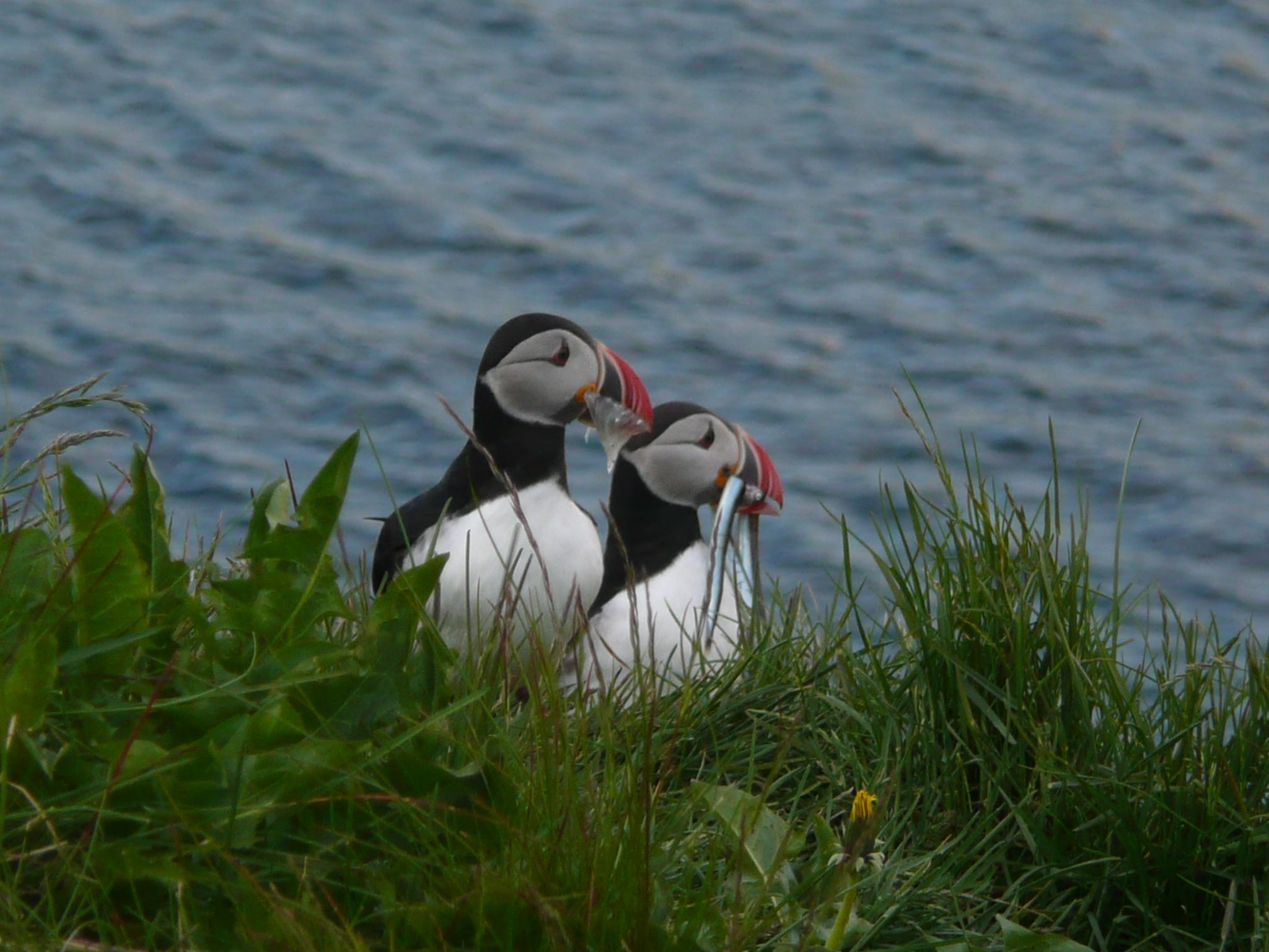 Capital of puffins1