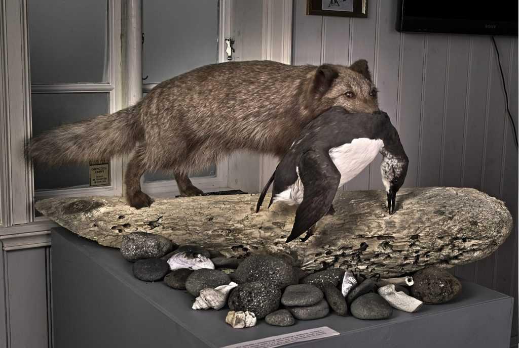 sudavik fox icelandic times 5 (3)