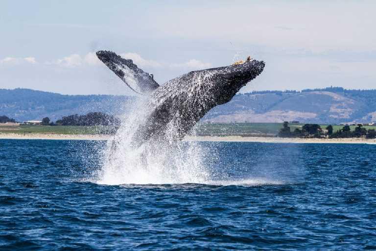 047789439-humpback-whale-breaching