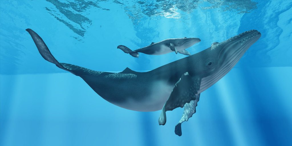A attentive Humpback whale mother makes sure her calf stays close to her near the ocean surface.