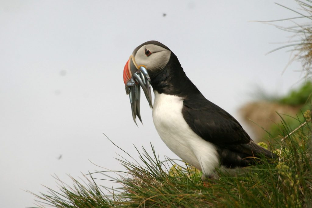 IMG_9958 icelandic times ludni puffins