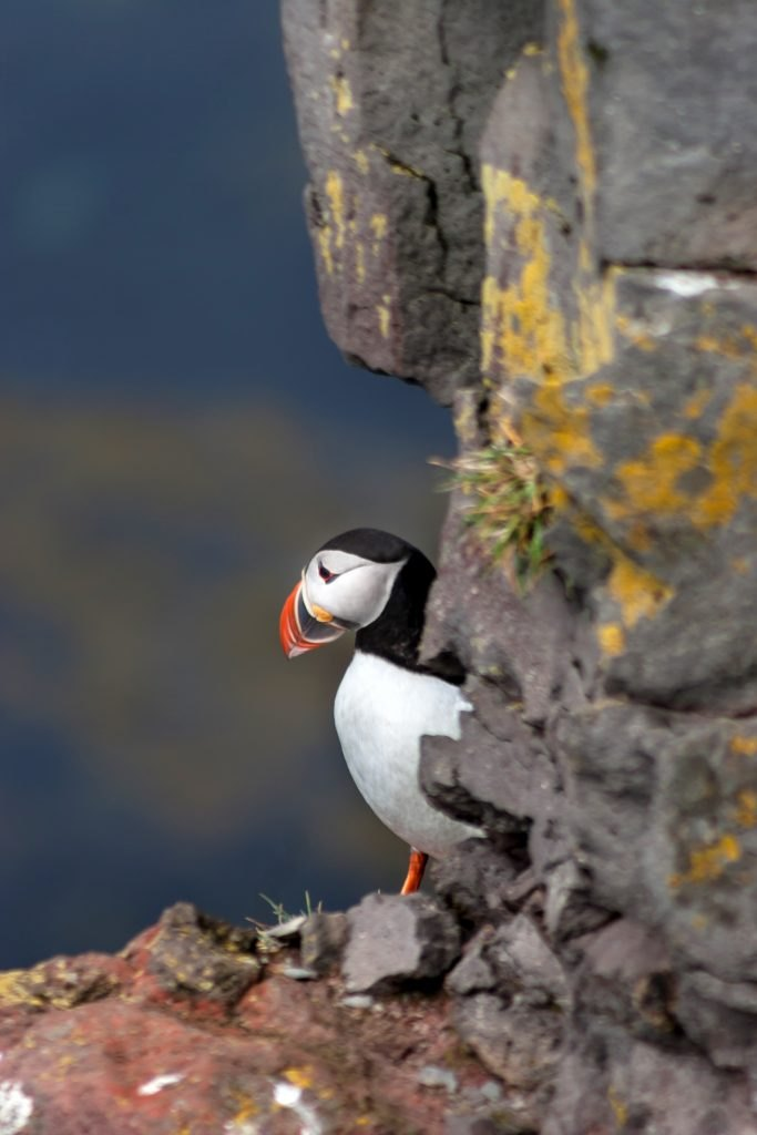 Puffin at Látrabjarg – Westfjords - Iceland