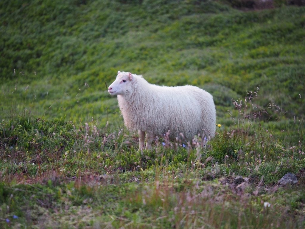 A sheep roaming free
