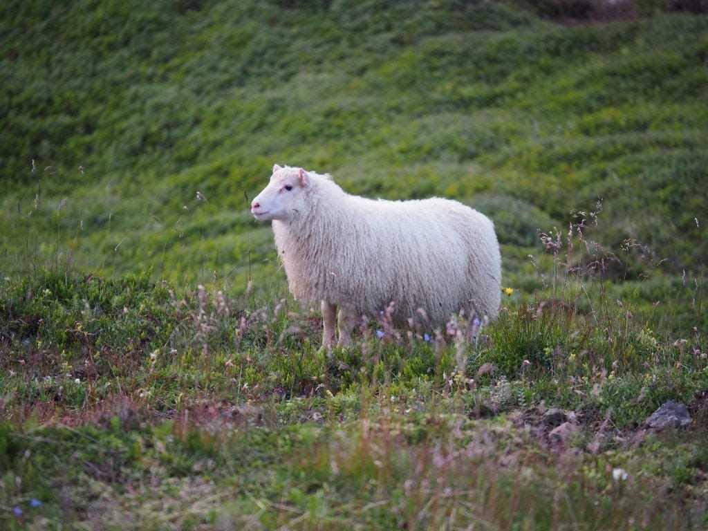 A sheep roaming free