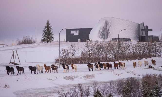Islandpferde im Winter
