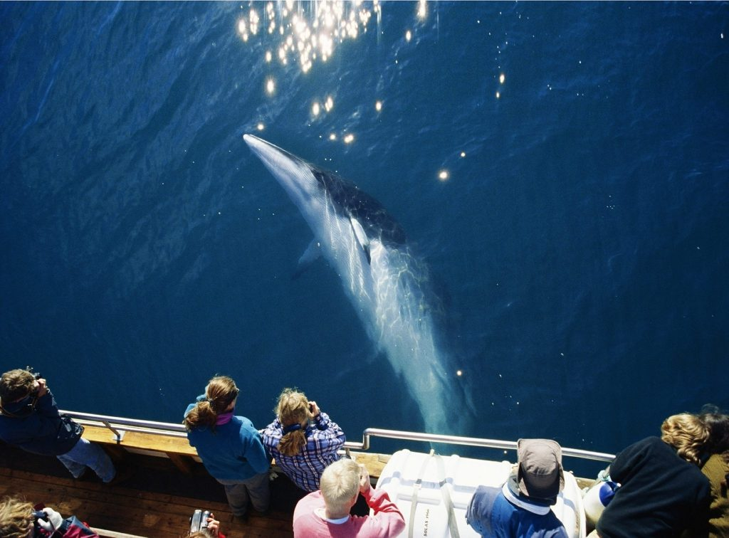 Minke whale Húsavik
