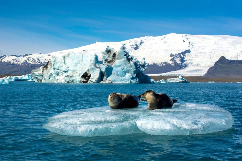 Seals in Jökulsárlón