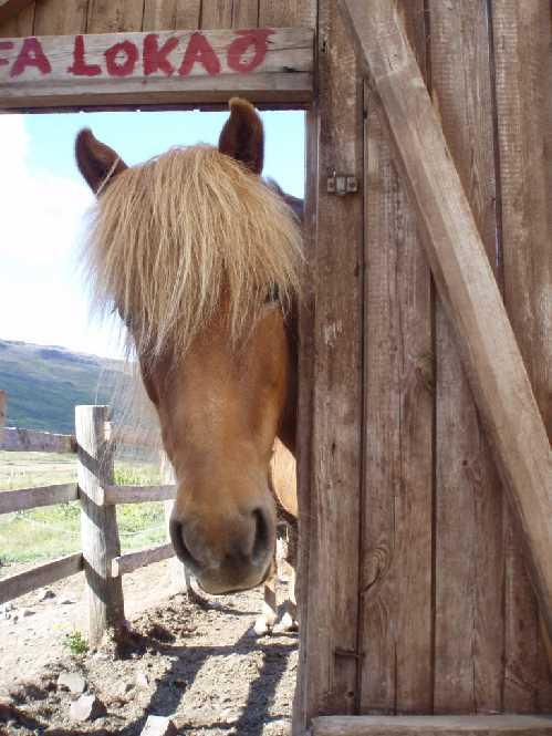 Das Isländische Pferd