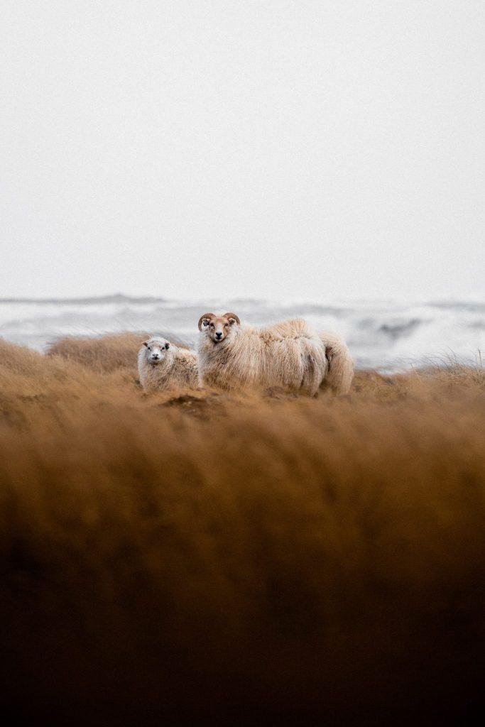 Lamb of Iceland
