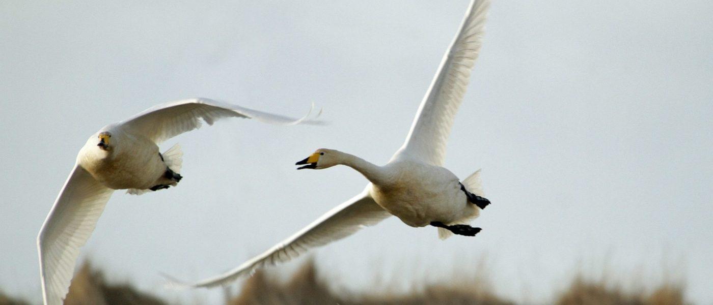 The Icelandic Swan