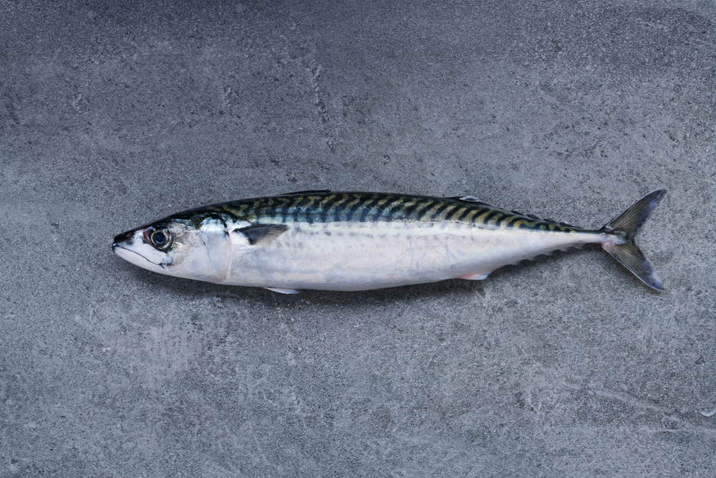 Mackerel fishing Iceland
