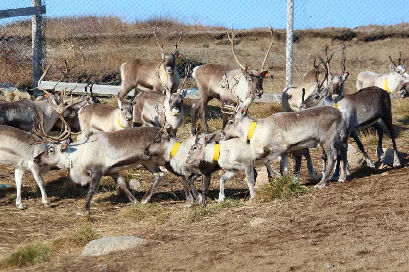 Greenland-Reindeer-Herding