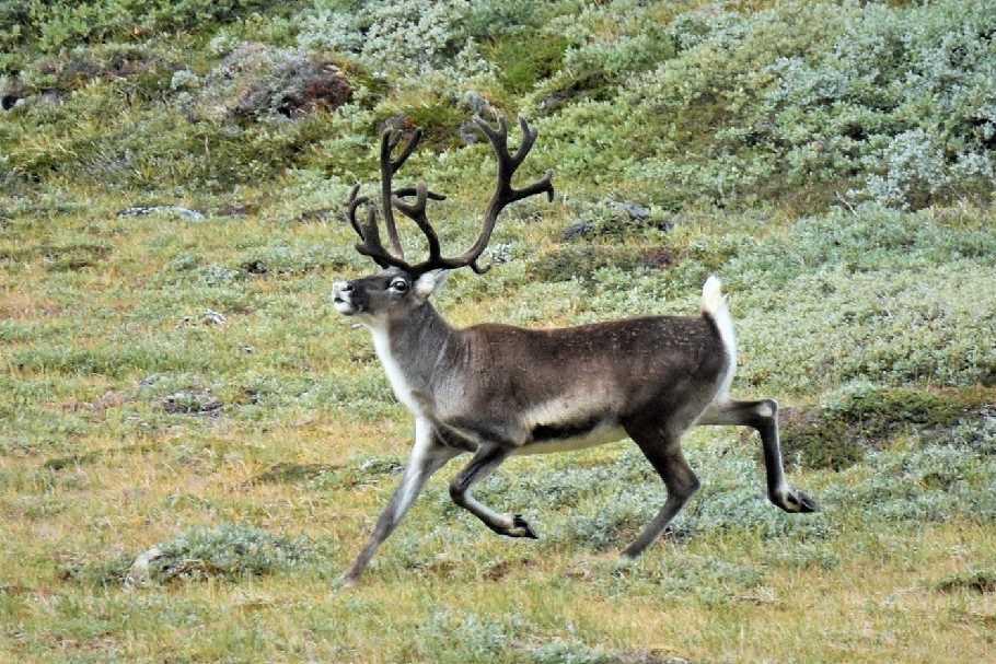 Reindeer-Greenland