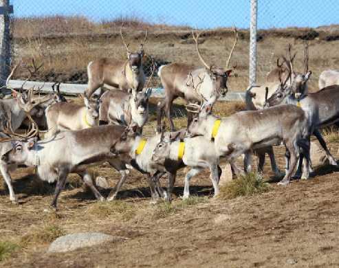 Stefán Hrafn Magnússon - Reindeer Farmer