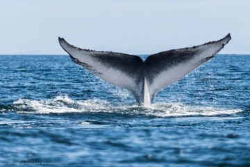 Whale watching tour - Voga Seatours